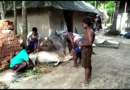 Outbreak of an unknown disease of cattle in Remuna